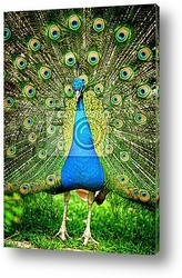 Постер Beautiful indian peacock with fully fanned tail
