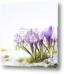 Постер Art crocus flowers in the snow Thaw