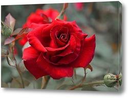 """красная роза на белом  фоне""."