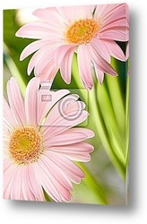 Closeup of two pink daisy-gerbera