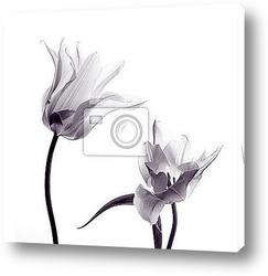 Постер Силуэты тюльпанов  на белом фоне