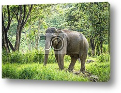 Постер Mature bull elephant with long tusks stands in forest