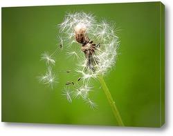 Одуванчик с разлетающимеся на ветру семенами