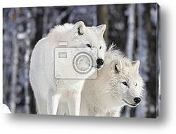 Постер Два арктических волка