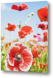 Ornamental Poppies