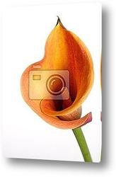 Orange Calla lilies (Zantedeschia) over black