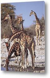 Giraffe mit langen Hals