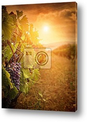 Постер Vineyard in autumn harvest