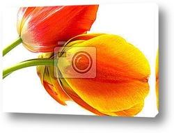 Раскрывшиеся тюльпаны