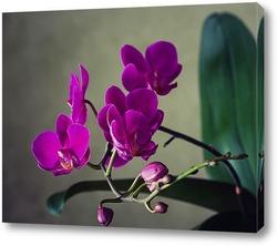 Орхидея доритинопсис Жемчужина Тейды