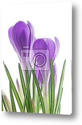 Постер Iolet spring crocus