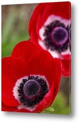 Постер Красная корончатая анемона