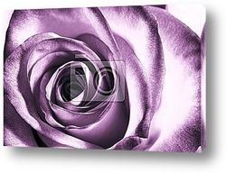 Темно фиолетовая Роза
