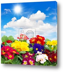 Постер Primula flowers on blue sky background