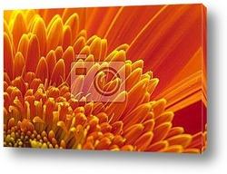 Chrysanthemum flower with rain drop macro view