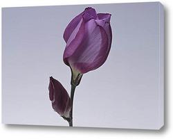 grape hyacinth in keukenhof holland