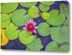 Постер Кувшинка или водяная розовая лилия