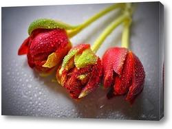Постер Три тюльпана в росе
