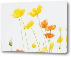 Колорадо цветок мака