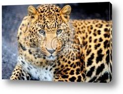 Постер Leopard