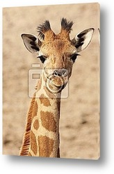 Постер Baby giraffe looking at you