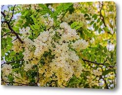Постер Белой акации гроздья душистые...