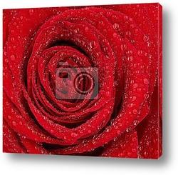 Red rose with rain drops, macro