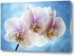 Постер Орхидея фаленопсис Утренняя Заря