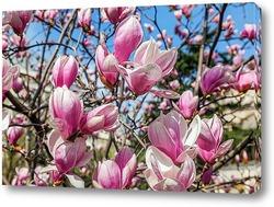 Постер Сочи - сад непрерывного цветения. Магнолия Суланжа