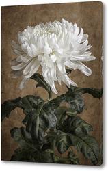 Постер Белая хризантема