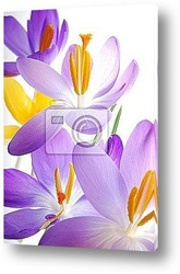 spring background with yellow crocus