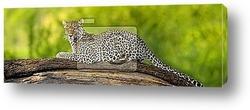 Постер Leopard in the serengeti national reserve