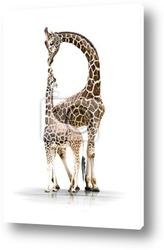 Giraffe in the wildlife park