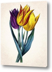 Тюльпаны Геснера