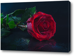 """""""красная роза на черном фоне""""."""