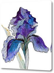 Ботаническая иллюстрация. Ирис.