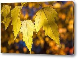 Осенние, жёлтые листья клёна