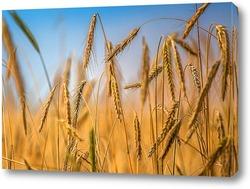 Постер Колосья пшеницы