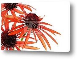 Постер Echinacea flowers