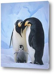 Постер Императорские пингвины с малышом.