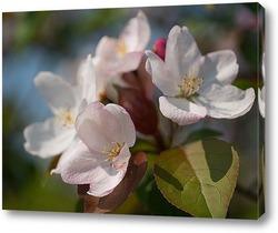 Постер Цветы яблони