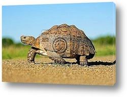 Постер Mountain tortoise (Geochelone pardalis), South Africa