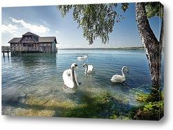 Постер Семья лебедей у березы