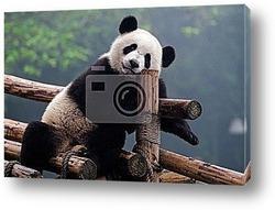 Постер Cute giant panda bear