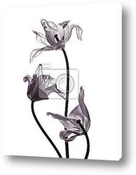 Постер Тюльпаны на белом фоне