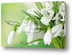 Постер Beautiful snowdrops on green background