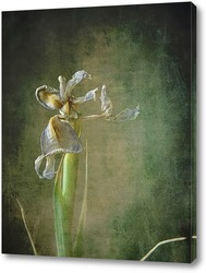 Постер Ирис (гербарий)