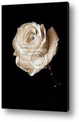 weiГџe rose