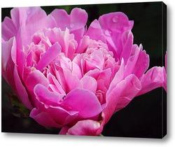 Постер Розовый пион