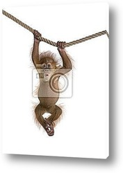 Постер Baby Sumatran Orangutan (4 months old), hanging on a rope